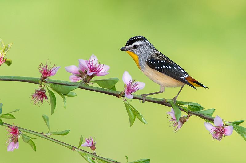 Spotted Pardalote - Pardalotus punctatus (Park Orchards, Vic)