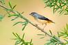 Spotted Pardalote – Pardalotus punctatus (m) (Melbourne, Victoria)