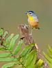 Spotted Pardalote - Pardalotus punctatus (Gembrook, Vic)