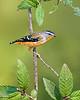 Spotted Pardalote - Pardalotus punctatus (Tarago SF, Vic)