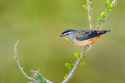 Spotted Pardalote - Pardalotus punctatus (You Yangs Regional Park, Vic)