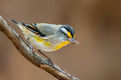 Striated Pardalote - Pardalotus striatus (You Yangs Regional Park, Vic)