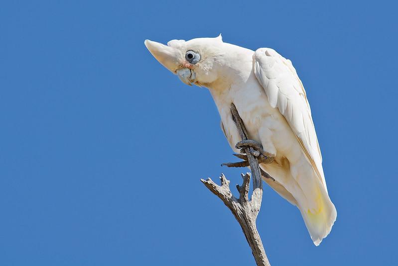 Little Corella - Cacatua sanguinea (Quorn, SA)