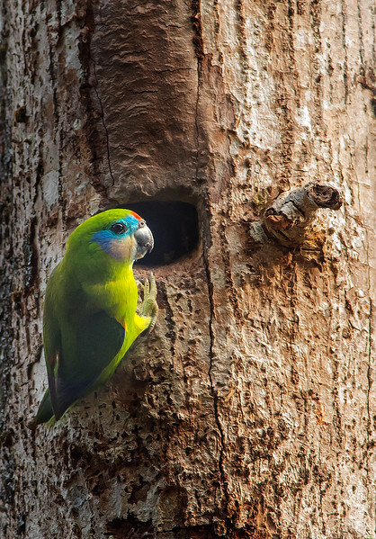 Double-eyed Fig-Parrot - Cyclopsitta diopthalma, race macleayana (at nest hole, Daintree River, Daintree)