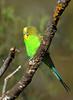 Budgerigar - Melopsittacus undulatus (Goschen, Vic)