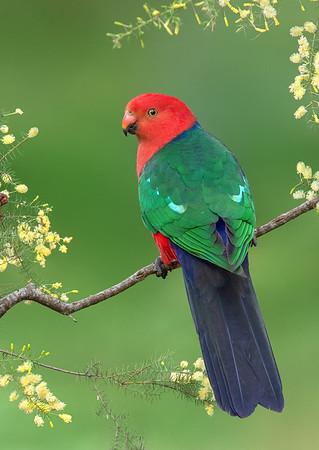 Australian King-Parrot - Alisterus scapularis (m) (Melbourne, Vic)