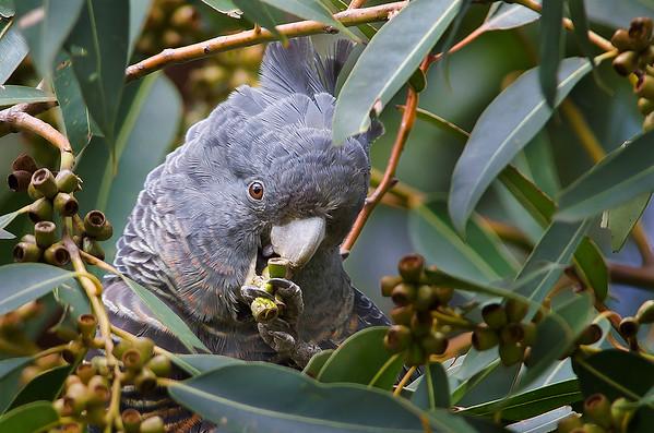 Gang Gang Cockatoo - Callocephalon fimbriatum (f) Wattle Park, Vic