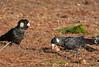 Short-billed Black Cockatoo - Calyptorhynchus latirostris (Dryandra, WA)
