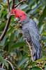 Gang Gang Cockatoo - Callocephalon fimbriatum (m) Wattle Park, Vic