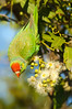 Varied Lorikeet - Psitteuteles versicolor (Cloncurry, Qld)