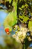 Varied Lorikeet - Psitteuteles versicolor (Cloncurry, Qld)