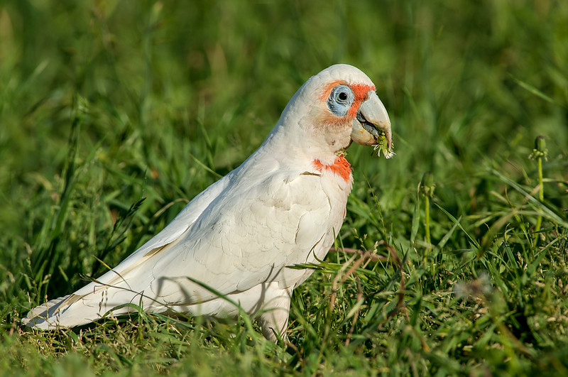 Long-billed Corella - Cacatua tenuirostris (Yarra Flats, Vic)