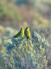 Elegant Parrot - Neophema elegans (Port Augusta, SA)
