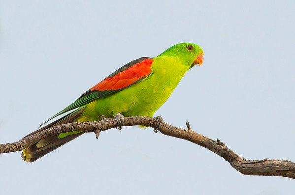Red-winged Parrot - Aprosmictus erythropterus (Bladensburg NP, Qld)