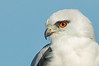 Black-shouldered Kite - Elanoides axillaris (Western Treatment Plant, Vic)