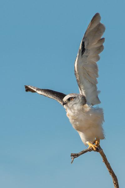 Black-shouldered Kite - Elanus axillaris (Western Treatment Plant, Vic)