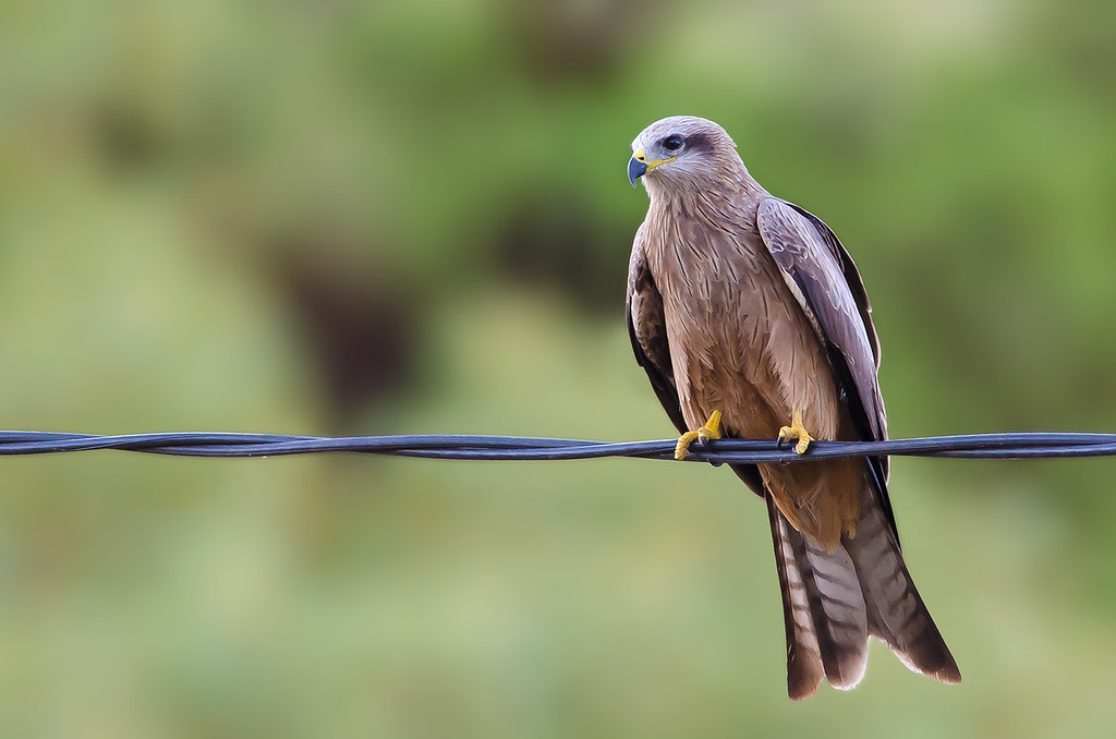 Black Kite - Milvus migrans (Chinaman Creek Dam, Cloncurry, Qld)