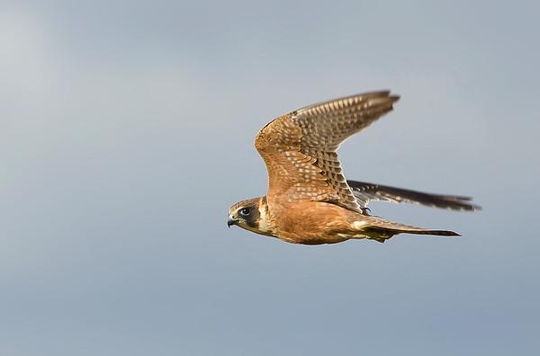 Australian Hobby - Falco longipennis (Lake Moondara, Mt Isa, Qld)