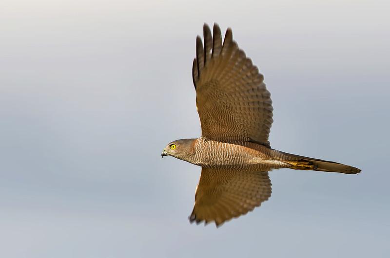 Brown Goshawk - Accipiter fasciatus (Lake Moondara, Mt Isa, Qld)