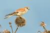 Nankeen Kestrel - Falco cenchroides (Western Treatment Plant, Vic)