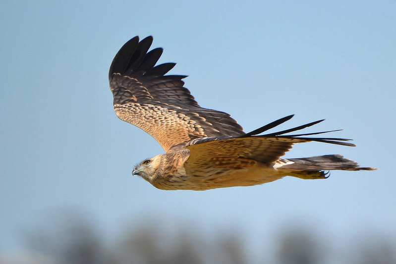 Spotted Harrier - Circus assimilis [juvenile] (Kerang, Vic)
