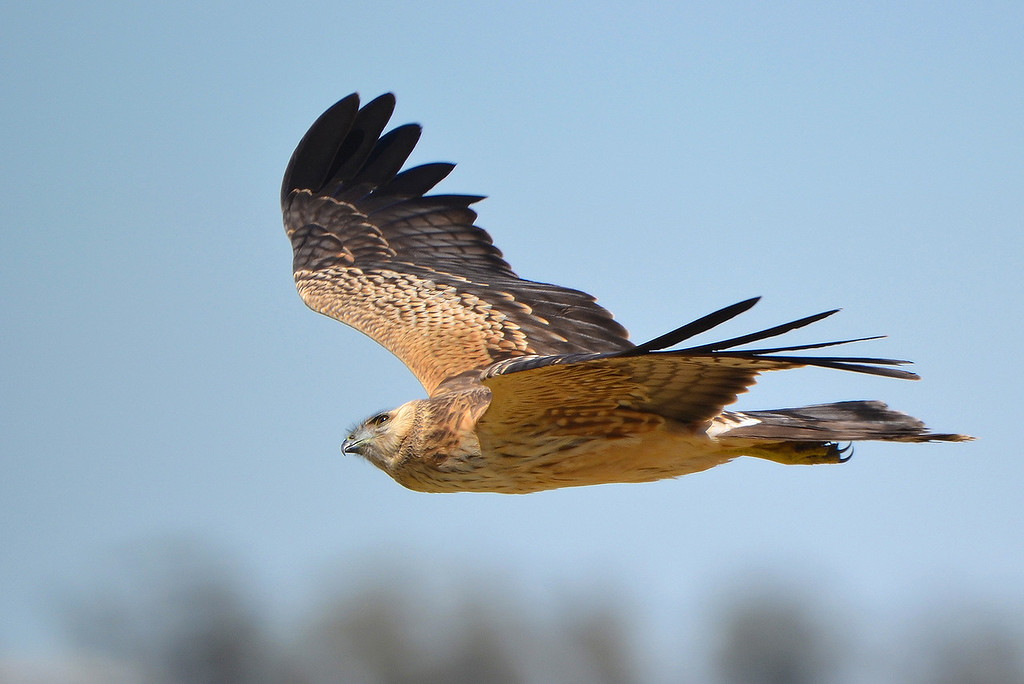 Spotted Harrier - Circus assimilis [juvenile] (Kerang, Vic)