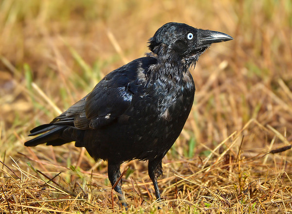 Little Raven - Corvus mellori (Western Treatment Plant, Vic)