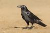 Forest Raven - Corvus tasmanicus (Walkerville South, Vic)