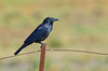 Australian Raven - Corvus coronoides (Quorn SA)