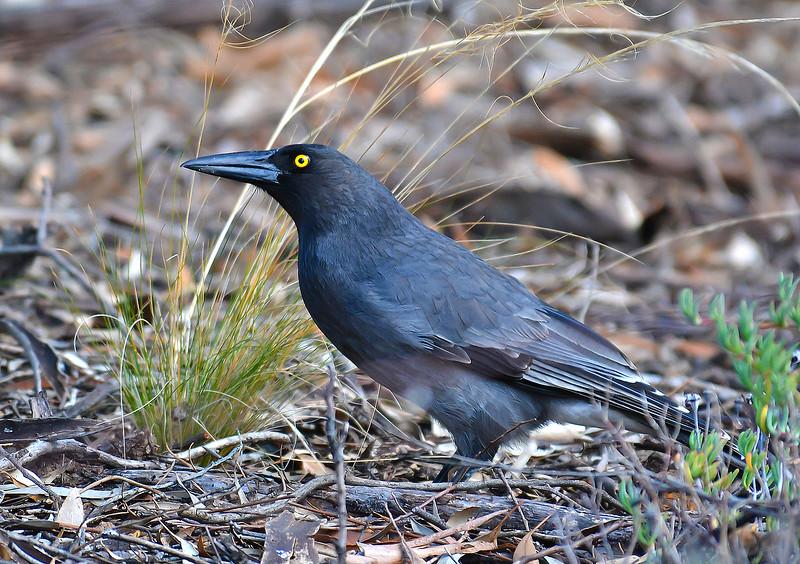 Grey Currawong - Strepera versicolor (Bendigo, Vic)