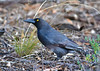 Grey Currawong - Strepera versicolor (Bendigo, Vic)