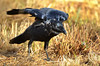 Little Raven - Corvus mellori (Western Treatment Plant, Vic)