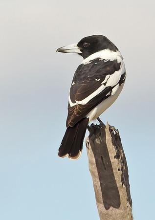 Pied Butcherbird - Cracticus nigrogularis (Lake Moondara, Mt Isa, Qld)
