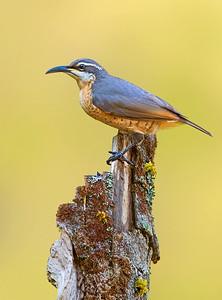 Victoria's Riflebird (female) - Ptiloris victoriae (Mt Lewis, Qld)