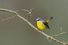 Eastern Yellow Robin - Eopsaltria australis (Yarra Flats, Vic)