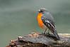 Flame Robin - Petroica phoenicea (Toolangi, Vic)