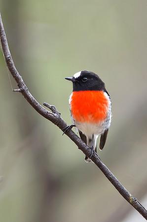 Scarlet Robin - Petroica multicolor (m) (Bells Beach, Vic)