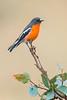 Flame Robin - Petroica phoenicea (Eynesbury, Vic)