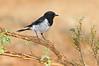 Hooded Robin - Melanodryas cucullata (Swan Hill, Victoria)