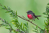 Rose Robin - Petroica rosea (Glen Waverley, Vic)