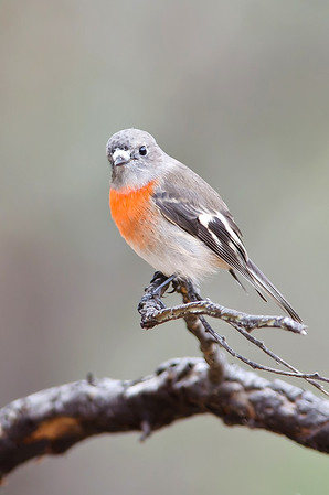 Scarlet Robin - Petroica multicolor (f) (Bells Beach, Vic)