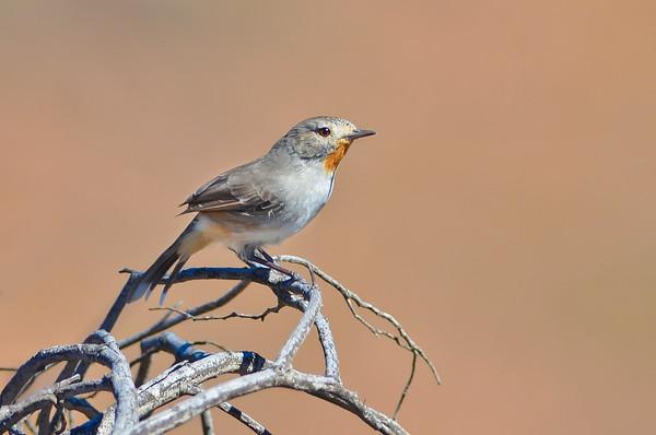 Redthroat - Pyrrholaemus brunneus (Flinders Ranges, SA)