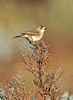 Southern Whiteface - Aphelocephala leucopsis (Whyalla, SA)