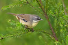 White-browed Scrubwren - Sericornis frontalis (Pt Addis, Vic)