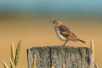 Horsfield's Bush Lark - Mirafra javanica (Western Treatment Plant, Vic)