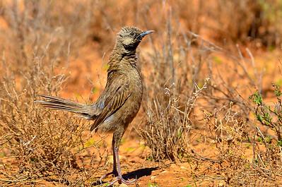 Brown Songlark - Cincloramphus cruralis (Strzelecki Track, SA)