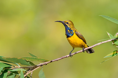 Olive-backed Sunbird - Cinnyris jugularis (m) (Clifton Beach, Qld)