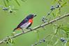 Mistletoebird - Dicaeum hirundinaceum (Melbourne, Vic)