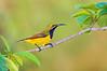Olive-backed Sunbird - Cinnyris jugularis (m) (Clifton Beach, Qld)