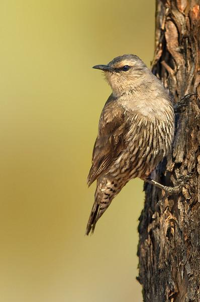 Brown Treecreeper - Climacteris picumnus (Goschen Flora Reserve, Vic)